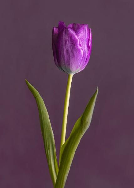 Tulip Portrait by iancrowson