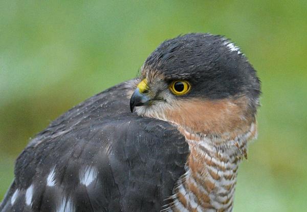 Sparrowhawk by norton