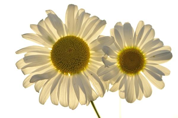 flower by ruurd