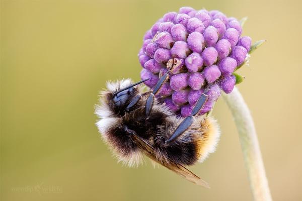 Red-tailed Bumblebee - Bombus lapidarius by Mendipman