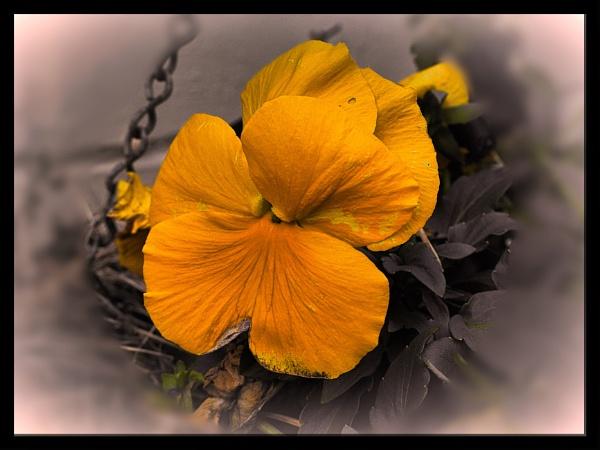 YELLOW PANSY. by kojack