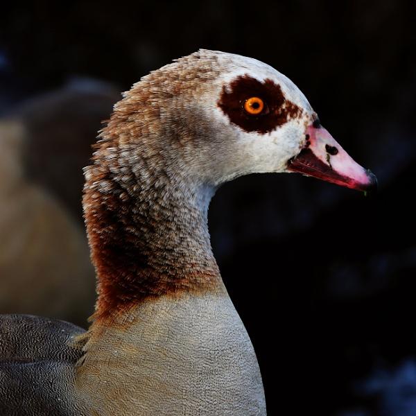 Egyptian Goose by ardbeg77