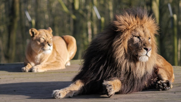 Lions by cfreeman