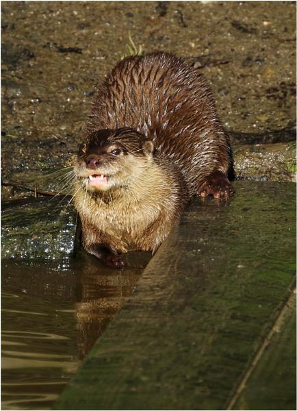 Otter by sueriley