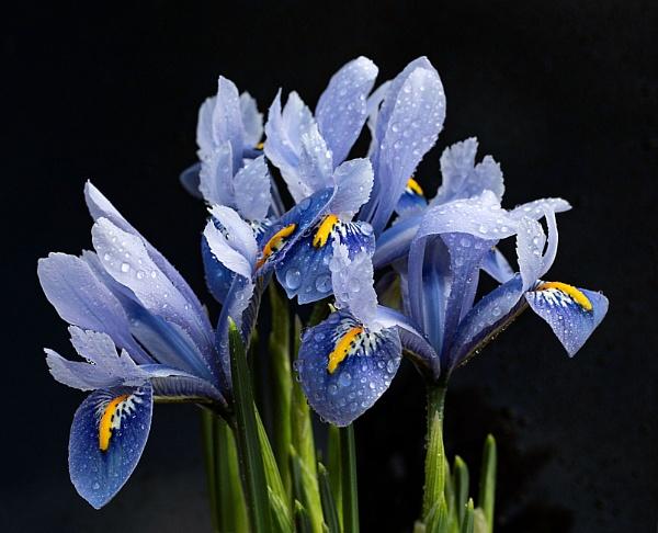 Irises after the rain by cegidfa