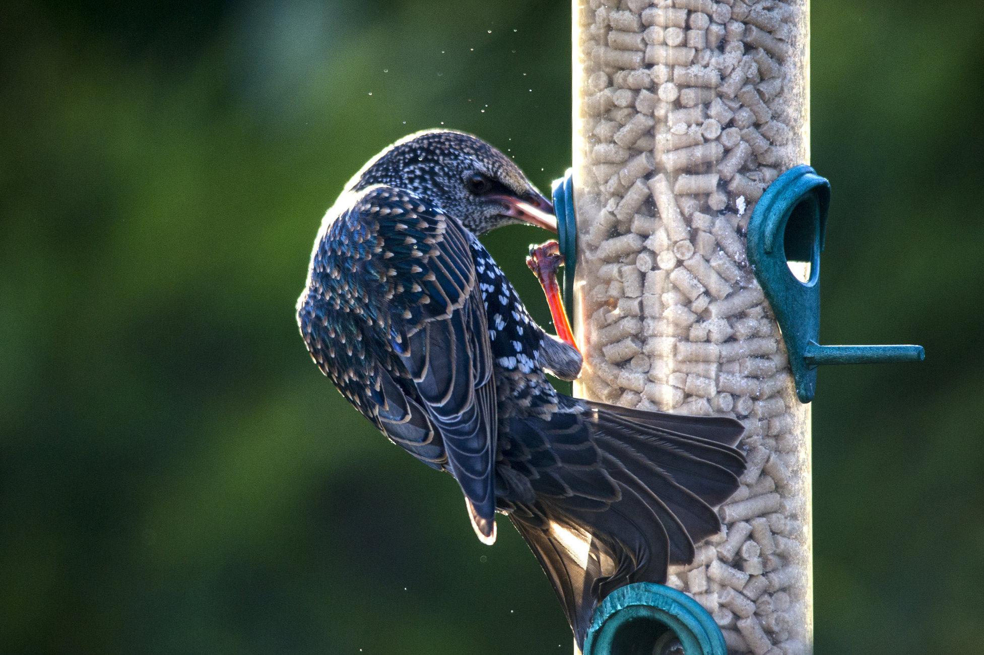 Greedy Starling