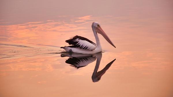 Pelican Dreams by dales