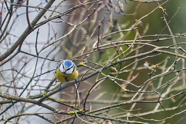 Blue Tit (Parus caeruleus) – Melynoji zyle by LotaLota