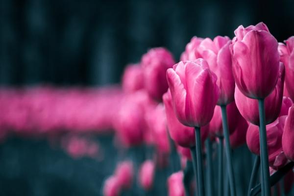 Tulips (I) by chowe328