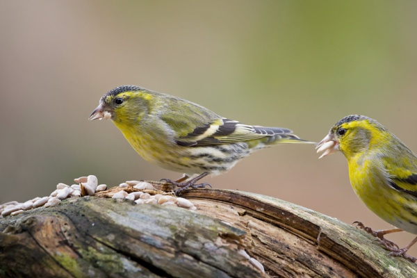 The Siskin 2 by Saastad
