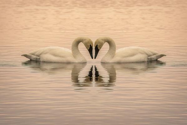 Trumpeter Swan by TammyN