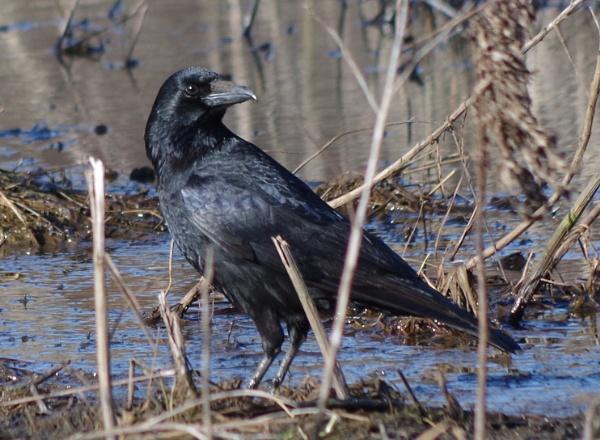 Crow stare by Kako
