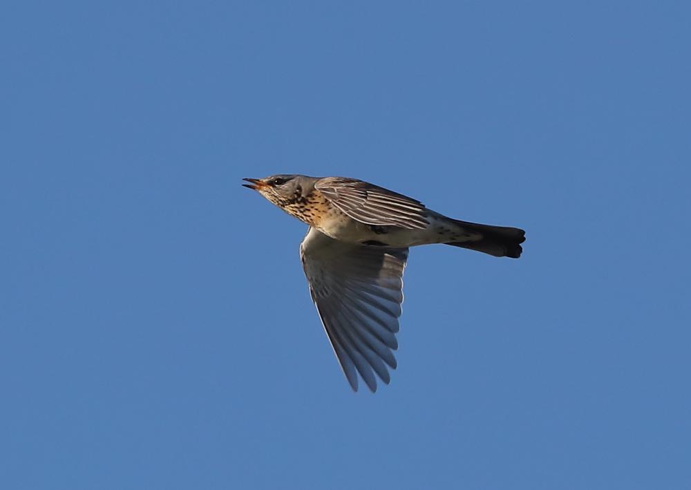 Fieldfare In Flight Sequence
