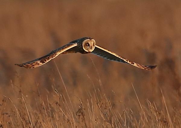 Short Eared Owl by NeilSchofield