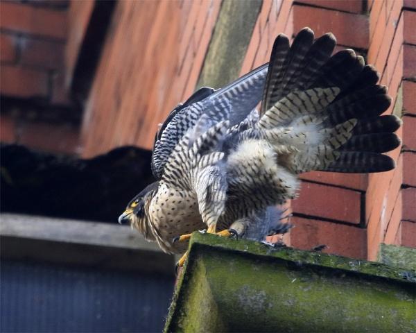 Peregrine Falcon by jonnydart