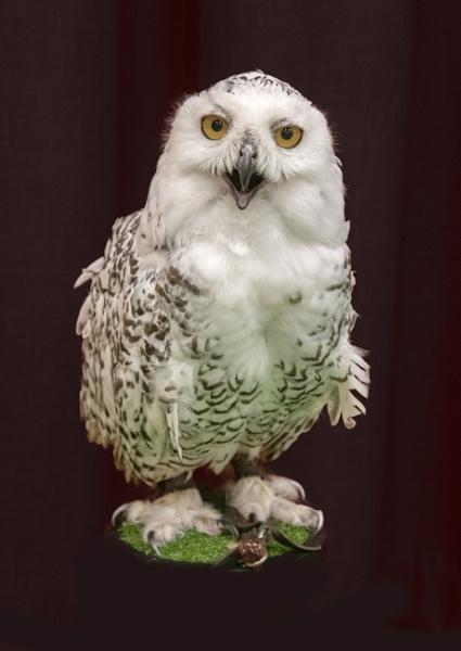 Snowy Owl by DonMc