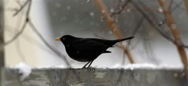 BLACKBIRD by maratsuikka