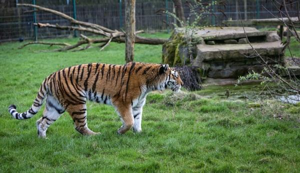 Sumatran Tiger by bobelle