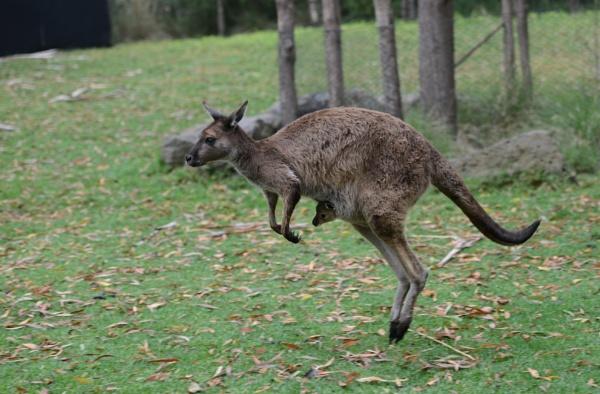 Kangaroo and Joey  by Dugs
