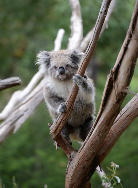 Koala  1 by Dugs
