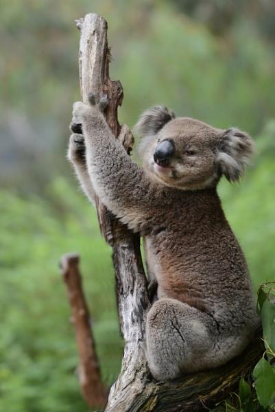 Koala   by Dugs