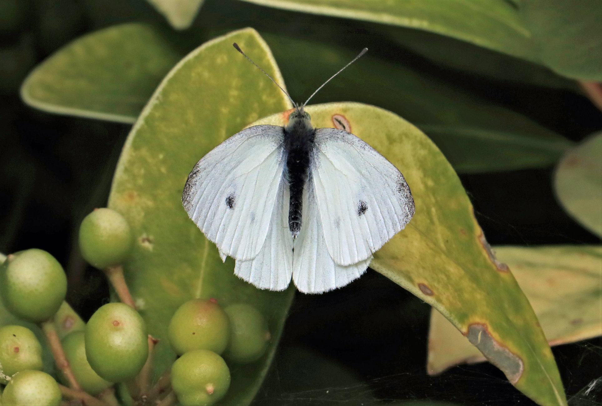 A Small White (male)