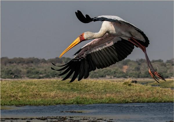 Yellow Billed Stork by mjparmy