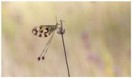Nemoptera bipennis.