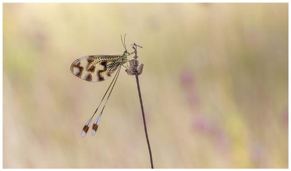 Nemoptera bipennis. by NigelKiteley