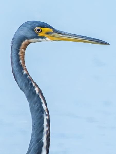 Portrait of a blue heron by jbsaladino