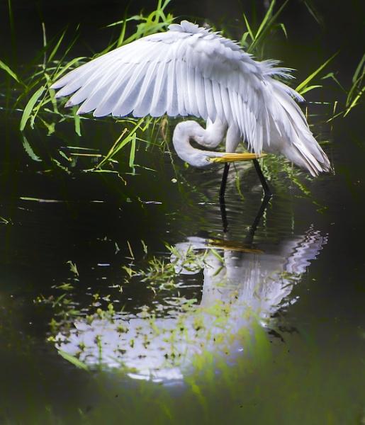 Preening egret by jbsaladino