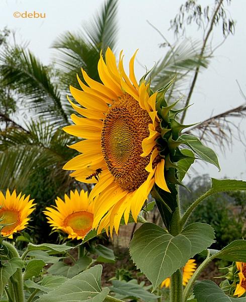 Sunflower by debu