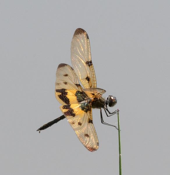 Variegated Flutterer by jasonrwl