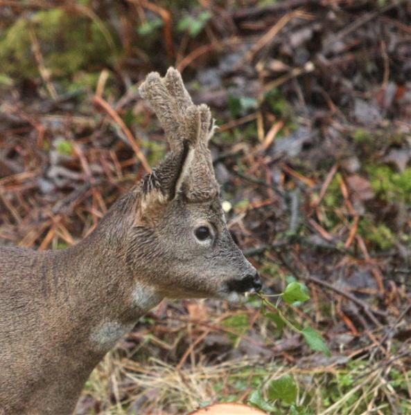 Roe deer buck eating ivy by Cowser