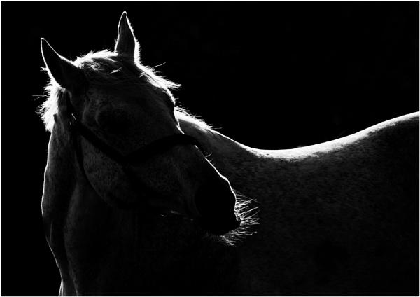 Horse by saltireblue