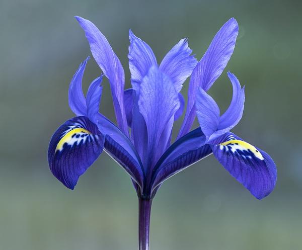 Iris by Dallachy