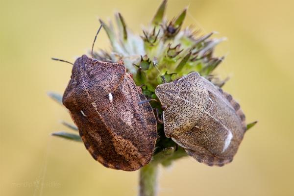 Tortoise Shieldbug - Eurygaster testudinaria by Mendipman