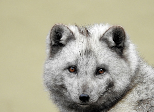 Arctic Fox. by kathrynlouise