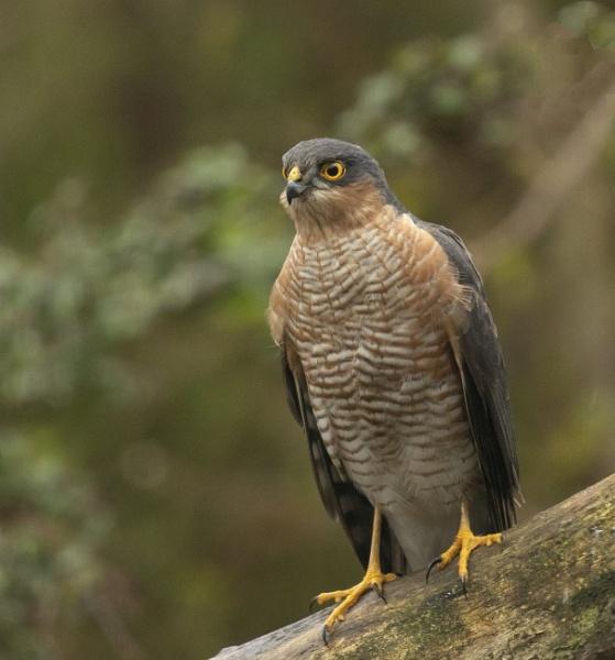 Male Sparrowhawk by ali63