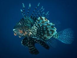 Lionfish night-hunting