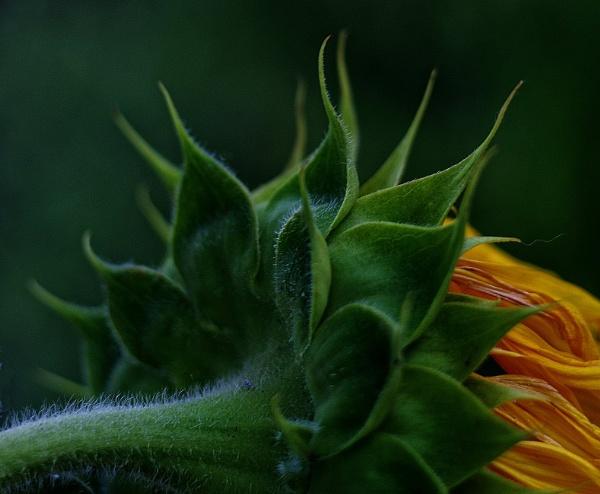 Sunflower. by Mollycat