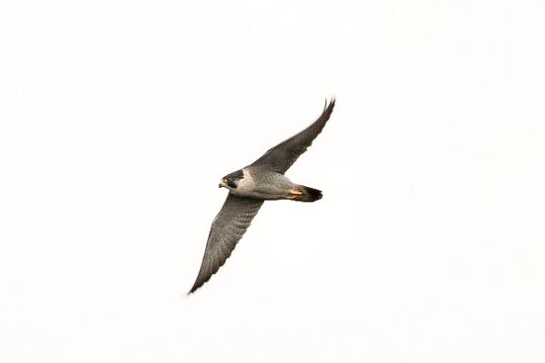 Peregrine Falcon by Lencollard