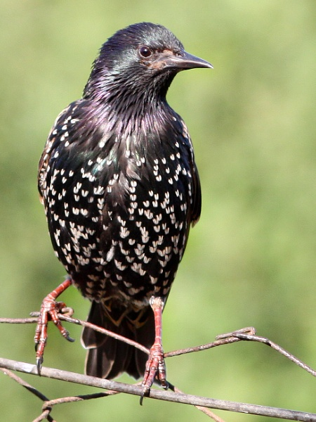 Starling by bobpaige1
