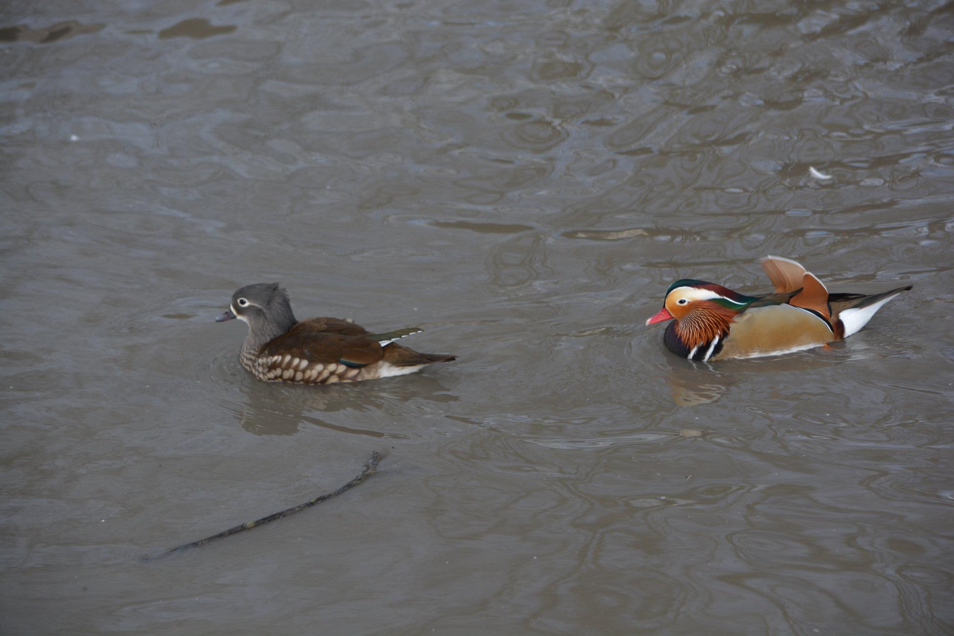 Male and Female mandarin ducks