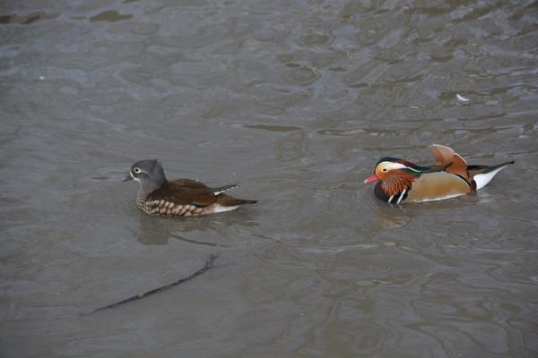 Male and Female mandarin ducks by jimbob133