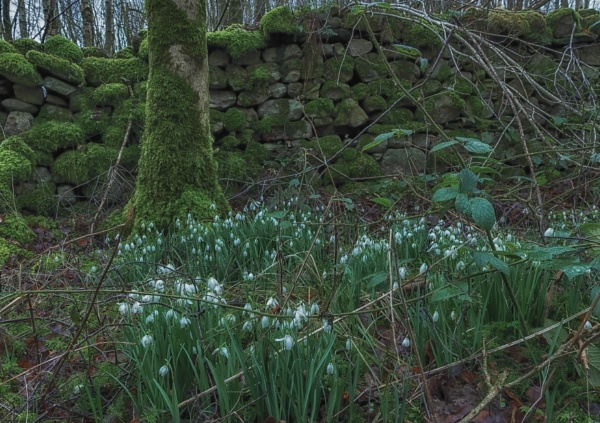 Moss of snowdrops by BillRookery