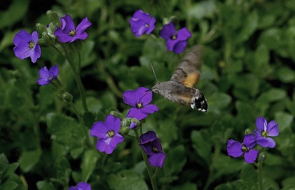Hummingbird Moth by robertsnikon