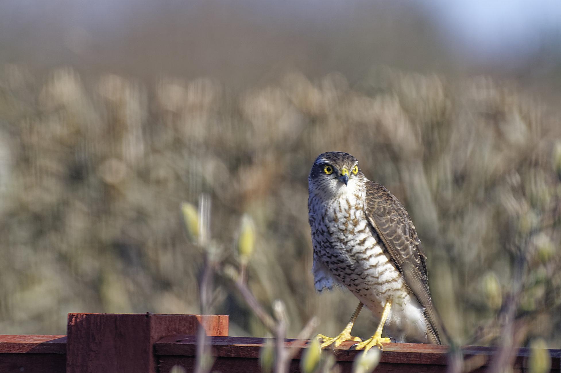 Sparrowhawk on the fence