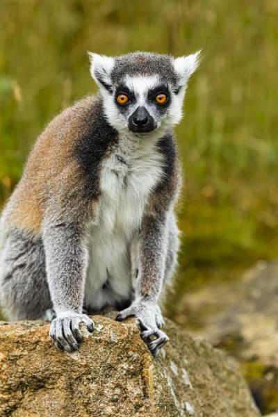Katta Lemur catta,NaturZoo Rheine by mongol