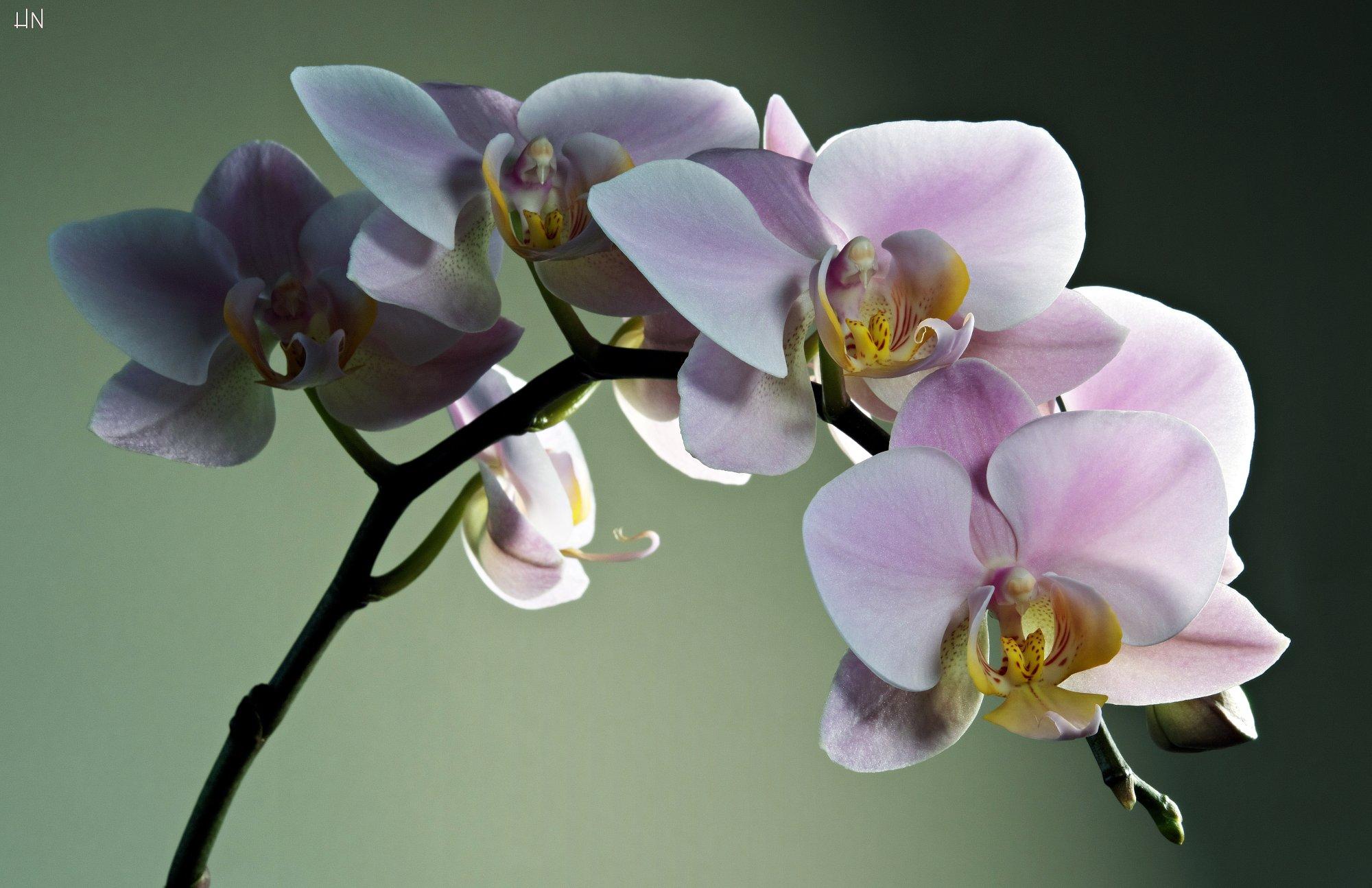 (Yin Yang) Orchid